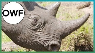 Rhino Horn & Human Fingernail: What's The Difference? - One Wild Fact -  Earth Unplugged