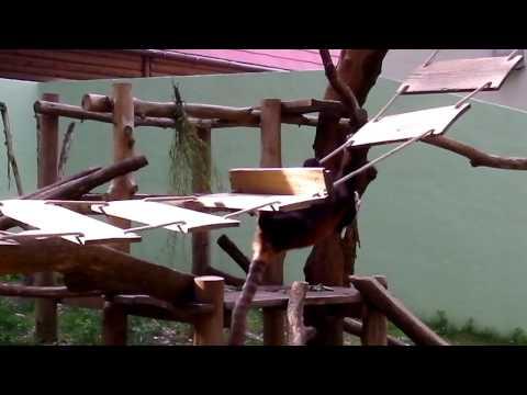 千葉市 動物園 レッサーパンダ