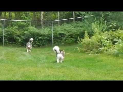 Fenway & Tucker's Chuck-It fun