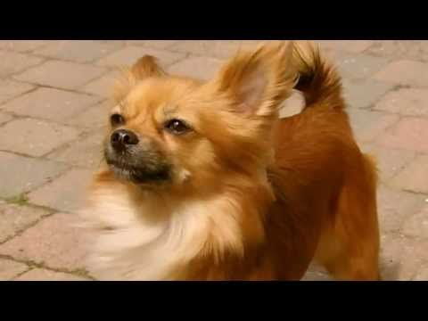 Ina Long Haired Chihuahua Youtube