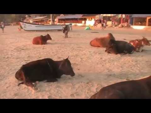 PALOLEM BEACH LES VACHES SACRÉES INDIA, travel goa india tourism goa india
