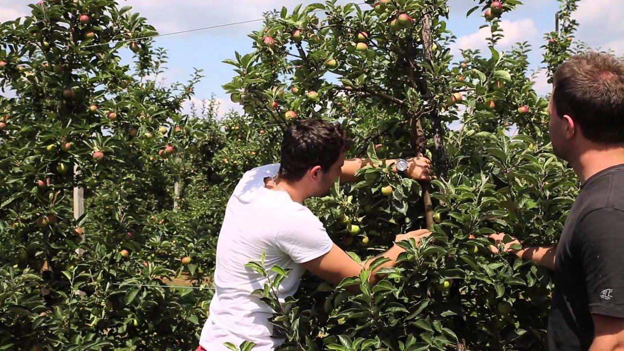 forum sadownicze, uprawa jabłek, zgorzel kory, vaporgard