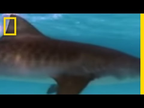 Tiger Sharks vs. Turtles Video
