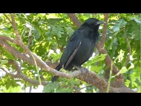 Pássaro-Preto [Passo-Preto] - Full HD