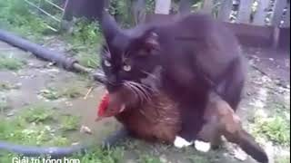 Chuyện lạ có thật nè,mèo hiếp gà đến bỏ chạy không tha.