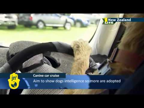 Dog Driving Car Story Dogs Driving Cars New Zealand