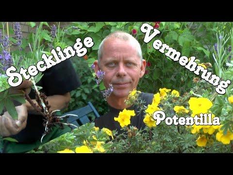 Stecklinge, Vermehren Von Pflanzen, Der Gärtner Zeigt Wie Es Geht