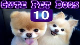 10 Cute Dogs | Small Dog Breeds | Cute Pet Dogs