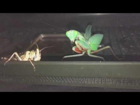 Egyptian praying mantis