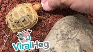 Tiny Turtle  || ViralHog
