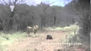 شاهد كيف يصطاد هذا الأسد الخنزير lion hunting screaming wart