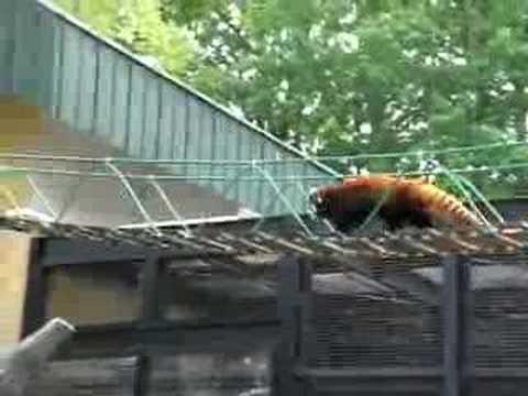 080609旭山動物園~レッサーパンダ