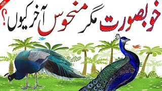 Facts About Peacock | Interesting Information About Peacock | Peacock Information | bird house