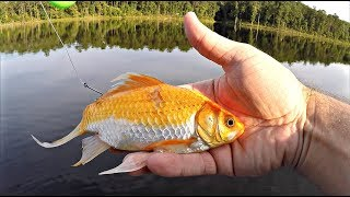 Giant Goldfish Catches 17 lb Bass!! (State Record)