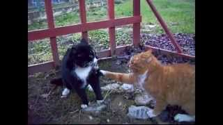 Funny Animal Amazing Footage Of Catfight From Beginning To End