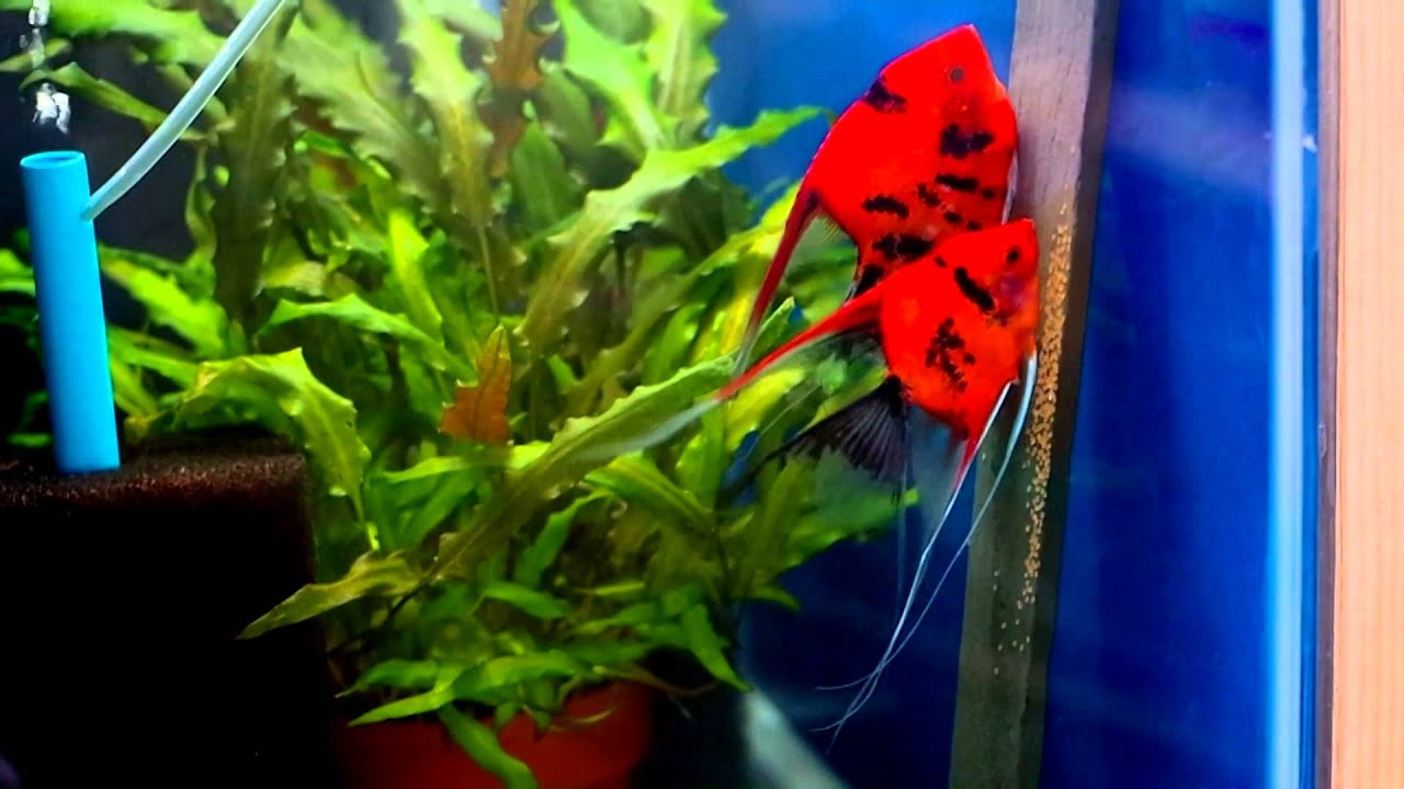 Angelfish Breeding Pair 1051 Youtube