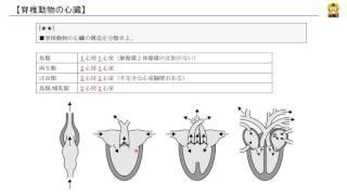 脊椎動物の心臓