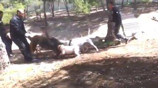 Pitbulls Kill and Tear Apart a Wild Boar