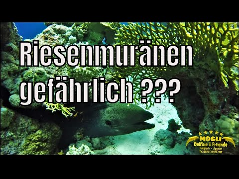 Die Muräne eines harmlosen Tiere im Roten Meer . In Hurghada gibt es zahlreiche ...