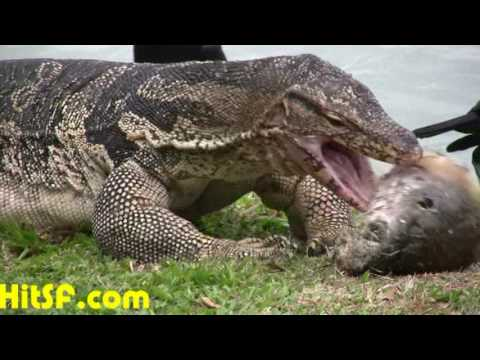 Lumpini Park Monitor Lizard Eating with Crows or Ravens in Bangkok Thailand