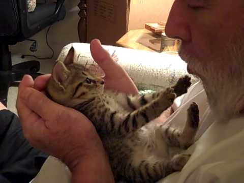 Tummy kisses - the world's cutest kitten, Liberty(aka Libby)