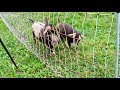 Goats vs Electrified Poultry Netting