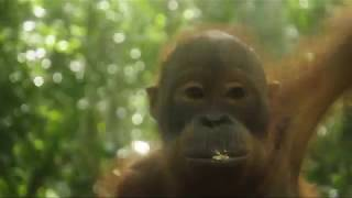Funny Videos and Facts of Orangutan