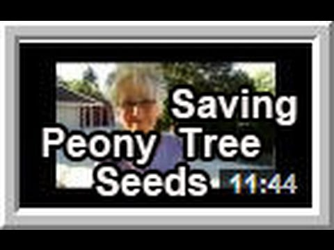 Saving Peony Tree Seeds - Wisconsin Garden Video Blog 542