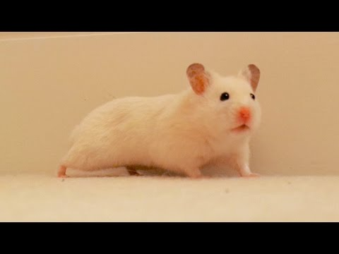 Hamster exploring and running at top speed