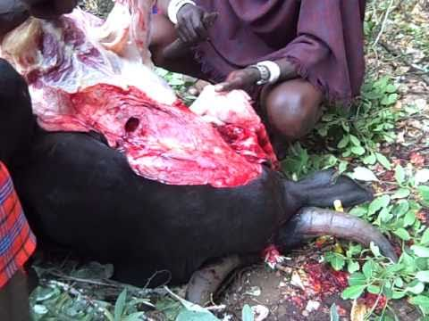 Following sounds in the woods Maasai cow butchering (2).AVI