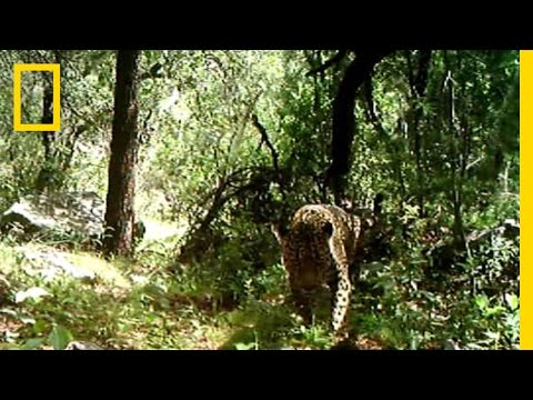 Rare Video: Only Known Wild Jaguar in the U.S. Filmed