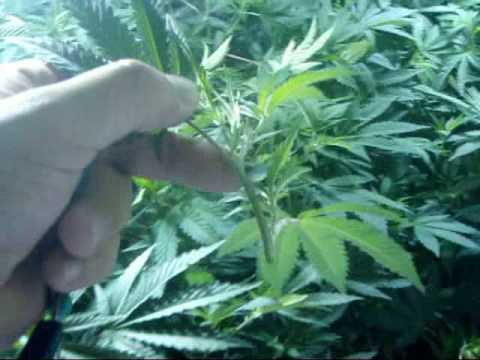 Cloning marijuana plants by Limbo Video