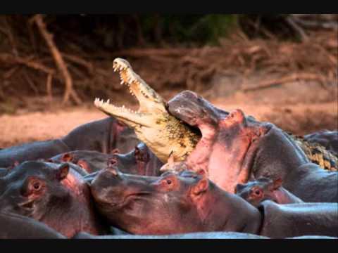 Elephant Kills Crocodile Hippo Kills Crocodile