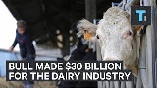 A bull made $30 billion for the dairy industry