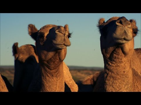 Camel Herding with a Chopper - Australia with Simon Reeve - BBC