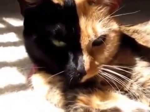 ¡INCREÍBLE! La gata de dos caras que conquista las redes sociales