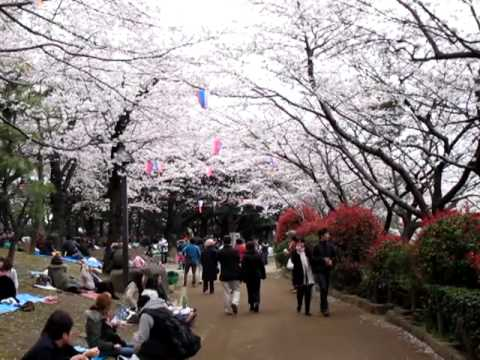 Hanami - Cherry Blossom picnic