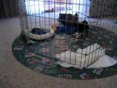 Pico & Peanut: Yorkie Puppy Dogs!