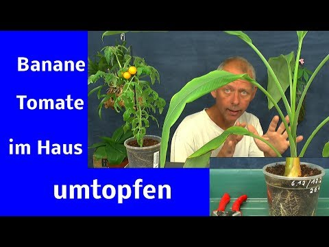 Banane und Tomate umpflanzen die Anzucht im Haus