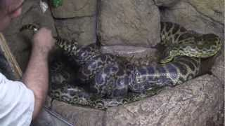 Anaconda Breeding at The Reptile Zoo