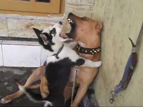 pit bull vs siberian husky DOG FIGHT.wmv