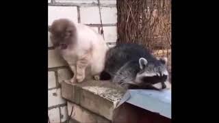 دعوای راکون و گربه