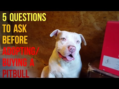 Top 5 Questions To Ask Before Adopting/Purchasing A Pitbull