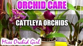 Orchid Care - How to care for Cattleya Orchids - watering, fertilizing, reblooming