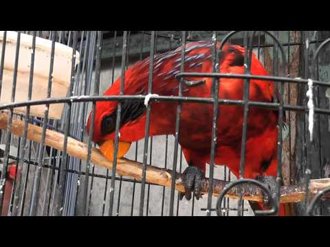 Red Bird With Black Eyes Pramuka Animal Market Indonesia