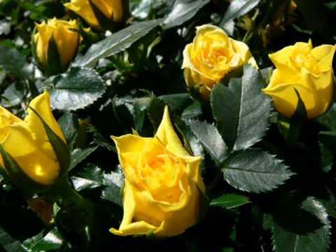 Kaczor Feri - Rózsa Rózsa Sárga Rózsa