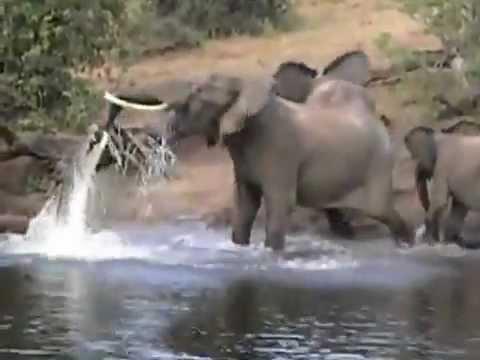 Elephant Crocodile Trunk Crocodile Grabbed The Trunk of