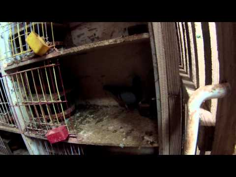 kuwait racing pigeons visit belguim june 2013 part 2