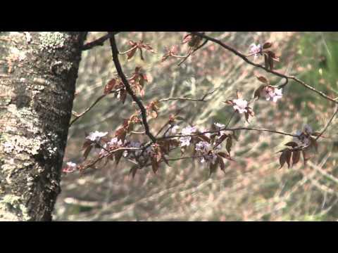 渓流・夏の花々04「山桜(ヤマザクラ)」
