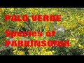 Frame from PALO VERDE (Parkinsonia Aculeata)